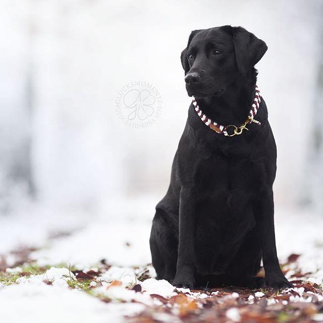 Halsband Dugo in weiß und rot  die Farben stehen Colin von @gluecksmomente.fotografie einfach perfekt  www.u-dog.de #novascotiaducktollingretrieversofinstagram #nsdtrpuppy #nsdtr #nsdtrofinstagram #toller #australianshepherd #labradorretriever #goldenretriever #halsband #tauhalsband #paracordhalsband #collar #paracordcollar #udog #selfmade #handmade #madeingermany #dogsofinsta #dogsofinstagram #paracord #leash #paracordleash #labrador #mops #chihuahua #husky #huskysofinstagram