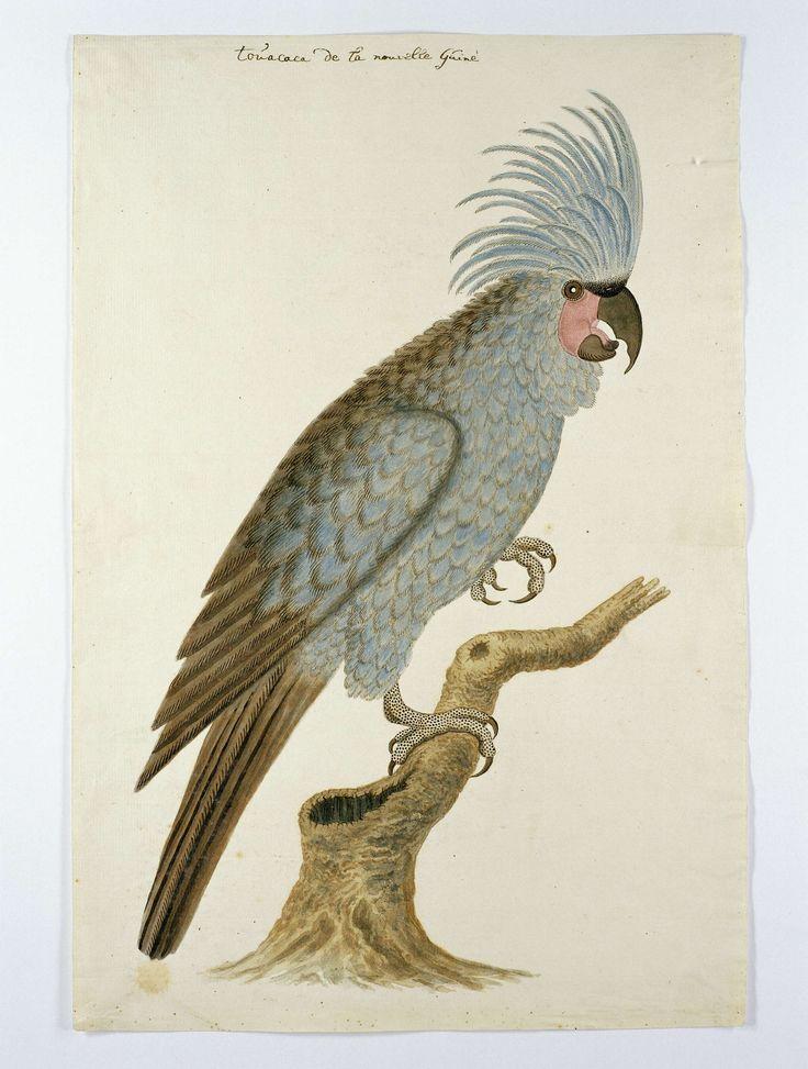 Blauwe papegaai met kuif, toegeschreven aan Robert Jacob Gordon, in of na ca. 1780