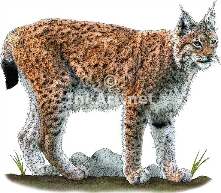 Full color illustration of a Eurasian Lynx (Lynx lynx)