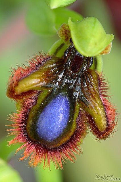 ophrysspeculumlusitanica0124042010800 | por Xema Romero
