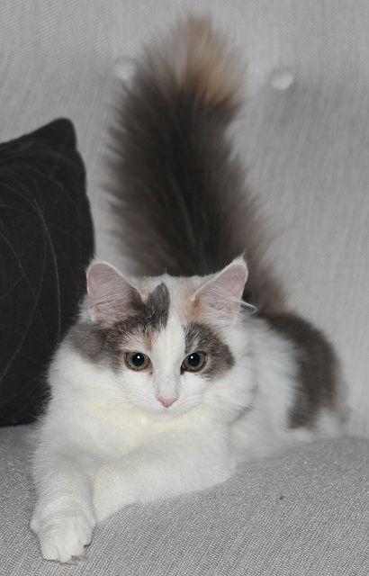 AWW .... sooo pretty kitty cat