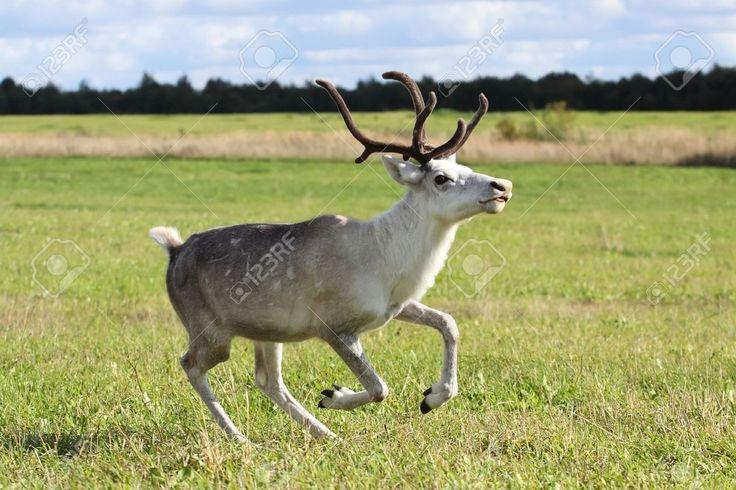 Image result for female reindeer