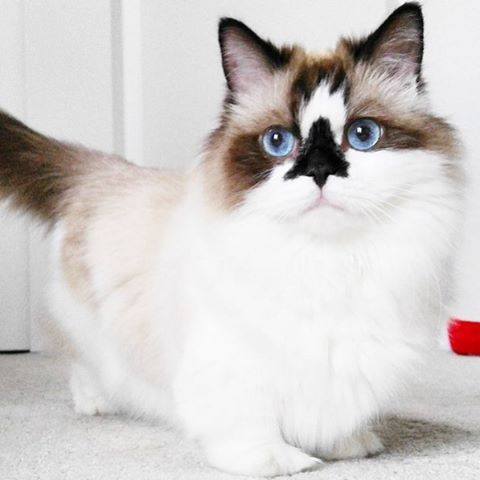 OMG! How awesome are his markings? This is ALBERT the Munchkin Cat. He's so cute! Albert is full grown and yes, 'Munchkin Cat' is the real name for this breed because of his shorter legs. ADORABLE!!! @albertbabycat -- John Tesh, Intelligence for Your Pets, from albertbabycat, 2016-01-13 via Instagram