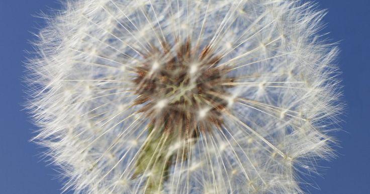 ¿Qué son las cosas flotantes blancas que salen de la flor diente de león?. Si alguna vez haz soplado los mechones blancos en una flor diente de león en un día de verano y los has observado volar en la brisa, entonces has jugado un papel importante en el proceso de dispersión de semillas. Cada borla blanca unida a la planta está unida a una semilla simple y es el vehículo que transporta la semilla a cualquier viento que ...