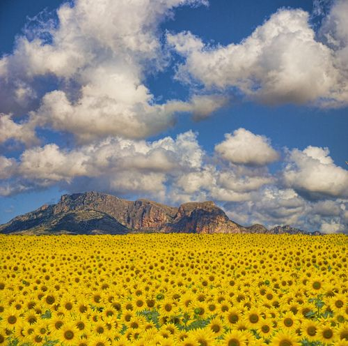 play in a sunflower field (Sunflower Valley, Valencia, Spain)