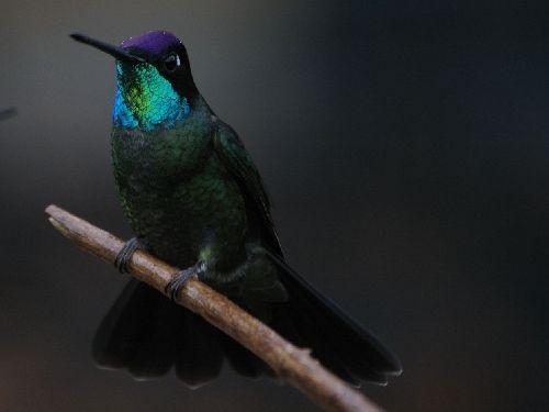 Magnifiscent Hummingbird - Costa Rica 2006