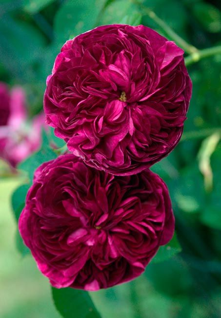 'Charles de Mills' One of the oldest roses recorded.