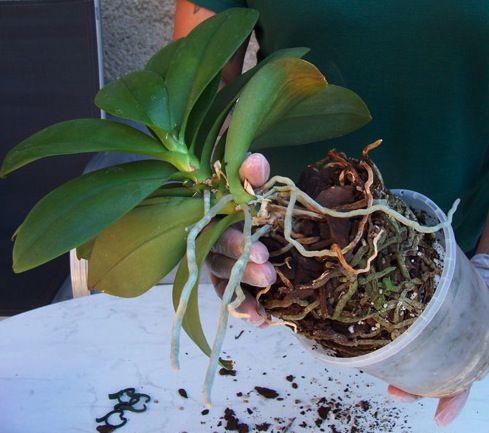 Comme toute plante d'intérieur, les orchidées ont besoin de rempotage de temps en autre, notamment quand le terreau d'origine commence à se décomposer (les morceaux d'écorce paraissent mous au touc…