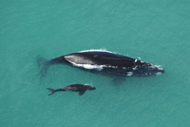 De Hoop Whale Trail - De Hoop HikingTrail - whale watching at its best! Each year from May to November about 300-400 whales visit the coast at the De Hoop nature reserve!