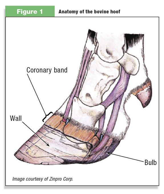 Image Result For Anatomy Cow Feet Tips For Artists Pinterest