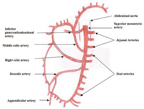 Branches Of Superior Mesenteric Artery