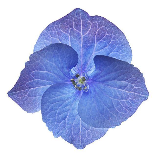 Hortensias Une Fleur Une Histoire De Nombreuses Formes Et