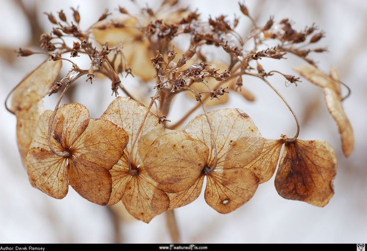 Hoe hortensia drogen als decoratie - Hobby.blogo.nl
