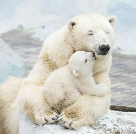 baby polar bear with mother - so beautiful animals ;-) ♥ rosi ♥