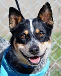 NOW URGENT...Blue Heeler Cattle Dog male is an adoptable Australian Cattle Dog (Blue Heeler) Dog in San Jacinto, CA. fOR THE ENTIRE MONTH OF DEC., ALL DOGS AND CATS WILL BE ONLY $50!!!  INCLUDES, THEIR SPAY/NEUTER...