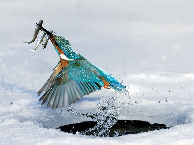 Kingfisher's Triple Play!!! ( I see one fish's escaped! )