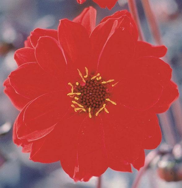 Flower of the Day: Dahlia 'Bishop of Llandaff'