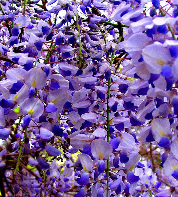 Up close wisteria.