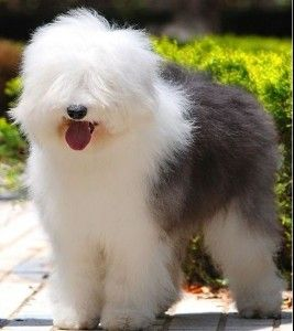 *Smiling* Old English Sheepdog... Such a sweet and charming breed!