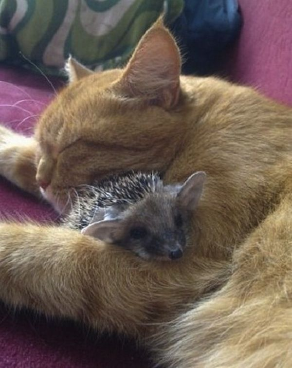 This cat adopted some baby hedgehogs, if you're having a bad day, these pictures will definitely help make it better!