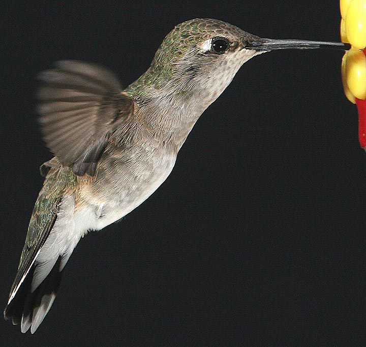 picture of a hummingbird in flight things get very complicated