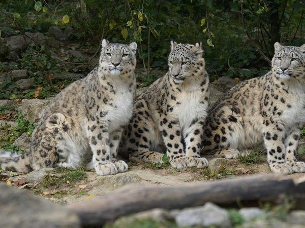 Will AI help save the snow leopard?  Joseph Sirosh shares a story about a volunteers dilemma an engineers ingenuity and how AI cloud data and devices came together to save snow leopards.  Continue reading Will AI help save the snow leopard?.  http://ift.tt/2hNboBX