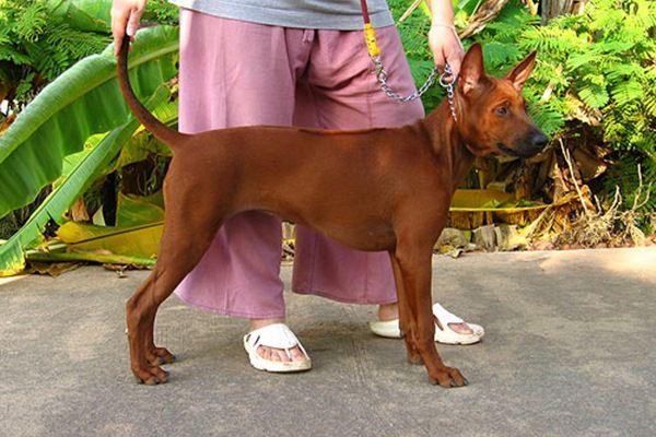ส น ขพ นธ ไทยหล งอาน Thai Ridgeback ส น ขประจำชาต ไทย ส น ข ขนยาว หมา