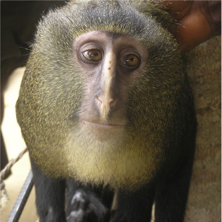 "New Species of Monkey With Unusual Coloring and ""Human Like"" Eyes Found in CongoCongo, Monkeys Species, Democrat Republic, Cercopithecus Lomamiensi, Discover, Lesula Monkeys, Africa, Eye, Animal"