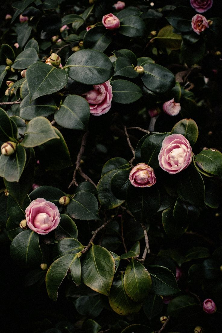 In Bloom: Pink Camellia
