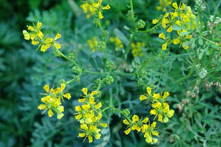 Rue (Ruta graveolens) - 'Herb O' Grace' 40 Rare Heirloom Herb Seeds