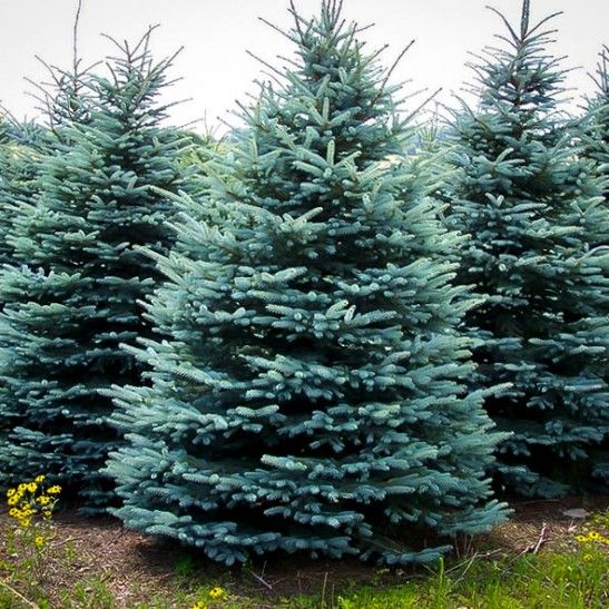 Baby Blue Spruce For Sale   The Tree Center™
