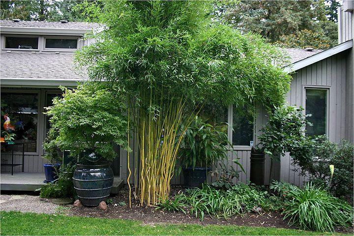 Хотите экзотики в саду? Посадите бамбук!. Обсуждение на LiveInternet - Российский Сервис Онлайн-Дневников