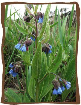 44 best images about garden wild plantes sauvages fleurs m dicinales comestibles on - Graine de consoude ...