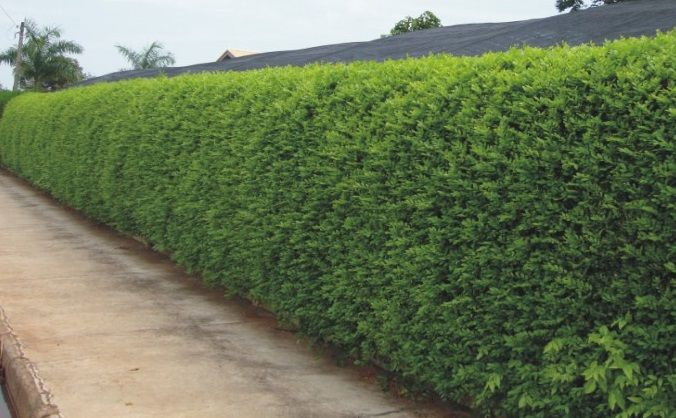 Sementes de Murta dos Jardins # Myrtus communis #