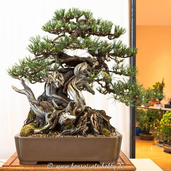 204 best images about bonsai b ume on pinterest prunus bonsai trees and japanese maple bonsai. Black Bedroom Furniture Sets. Home Design Ideas