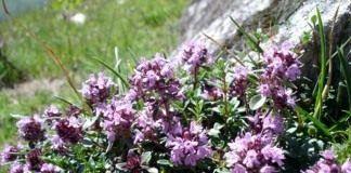 Тимьян ползучий, или Чабрец - Лекарственные растения