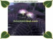 Gülibrişim siyah yapraklı 15-40cm http://www.fidanistanbul.com/urun/2091_gulibrisim-siyah-yaprakli-15-40cm.html