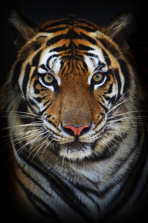 Tiger Eyes                                                                                                                                                                                 More