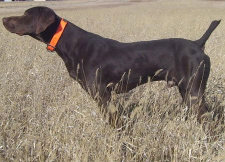 Gus Male Germanshorthair Hunting Dog for Sale