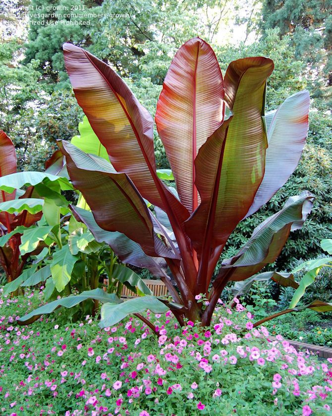 false banana  red abyssinian banana  wild banana  u0026 39 maurelii