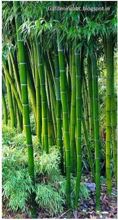 Growing #Bamboo: Some Interesting Information ~ Gardening ABC