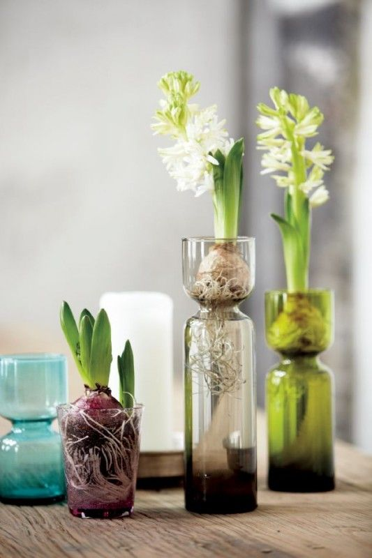 Hyacinth in a glass