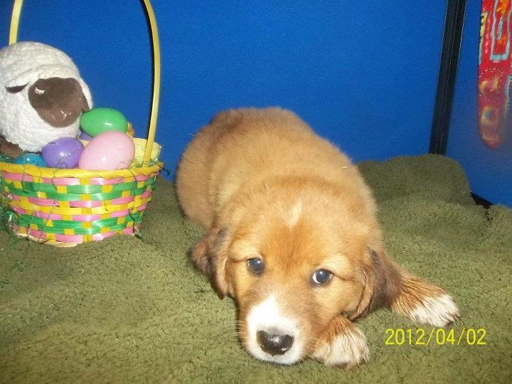 PUPPY PEN OWNER SURRENDER AVAILABLE NOW CHOW/BEAGLE MIX