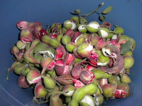 kamantiris (ilokano) or guamuchiles (mexico) are one of my favorite exotic fruits which i grew up eating.....
