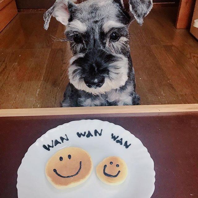 #CheriWanフレンズ のモモくんからお写真が届きました♪ . ワンワンワンの犬の日スマイルパンケーキ、早く食べたいなぁ🐶 . #cheriWAN #シェリーワン #愛犬 #ペット #犬 #dogs #無添加 #無着色 #無香料 #サプリメント #米粉パンケーキミックス #グルテンフリー #米粉 #ドッグフード #いぬ #いぬのおやつ  #いぬ部 #いぬすたぐらむ #instadog #dogstagram #doginstagram #犬の日 #ミニチュアシュナウザー #シュナウザー #スマイルパンケーキ