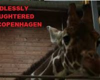 http://www.thepetitionsite.com/923/331/674/marius-the-giraffe-slaughtered-boycott-close-down-copenhagen-zoo/ CLOSE DOWN COPENHAGEN ZOO - NEARLY 55,000 SIGNATURES & GROWING FAST. PLEASE SHARE WITH OTHERS - THANKS!