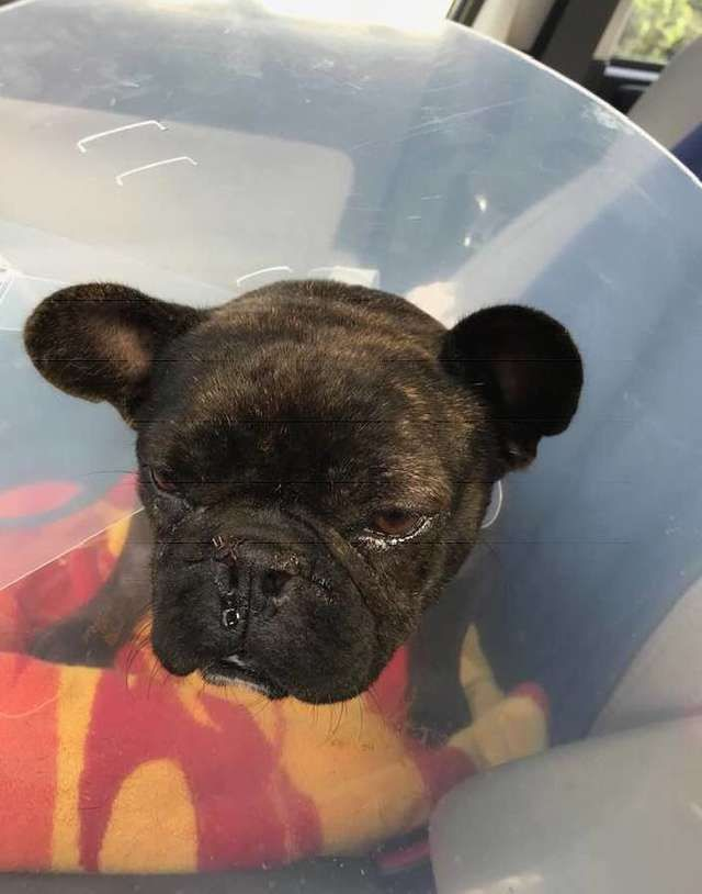 Abused French Bulldog From Puppy Mill Shows The True Meaning Of