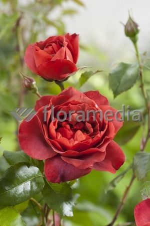 Floramedia Picture Library - Index Image
