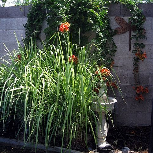 Lemon Grass Ornamental Grass Seeds (Cymbopogon flexuosus) 50+Seeds