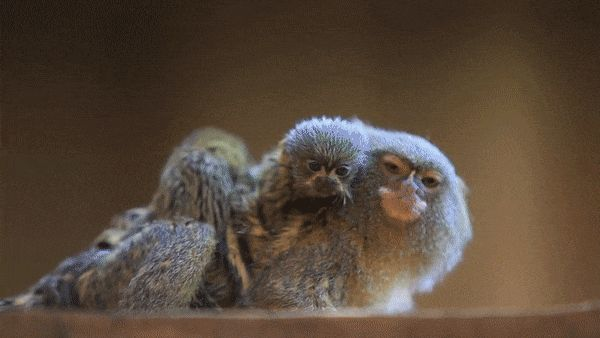 World's smallest and cutest monkey (pygmy marmoset) gives birth to twins http://ift.tt/2t27Yf4